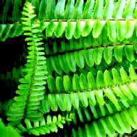 Fern Series - Lilikoi Copyright © 2005