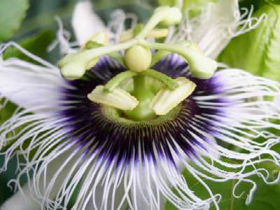 Passion Flower - Lilikoi Copyright © 2005
