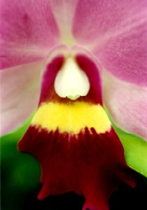 Orchid - Lilikoi Copyright © 1996