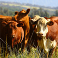 Kauai Cattle