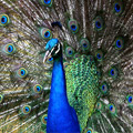 Peacock on the